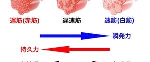 白筋(速筋)と赤筋(遅筋)とは?筋肉の構造、最適なトレーニング方法を解説!