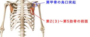 小胸筋の構造と作用とは?こりや痛みを取るストレッチも紹介!