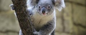 コアラの握力は1トンって本当?嘘?実は危険な動物?