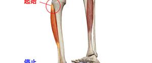 すねの筋肉の作用とは?すねの痛み・張りを治す方法を紹介!