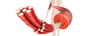筋繊維とは?断裂・修復を繰り返し筋肉は強くなる!