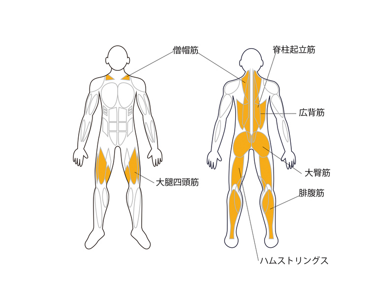 ハイクリーン(パワークリーン)で鍛えられる筋肉