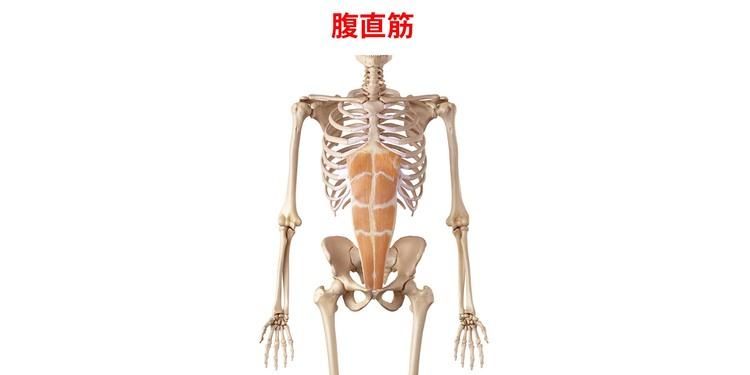 腹直筋の画像